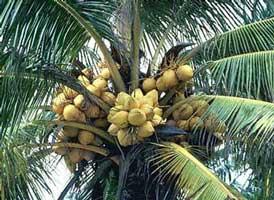 Palmeras y sus frutos